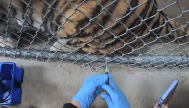 美 캘리포니아 동물원 맹수들도 코로나 백신 접종